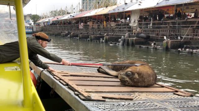 Die städtische Seelöwenkolonie – Parasitologische Forschung in Chile